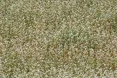 Background of buckwheat — Stock Photo