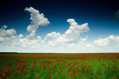 Poppy-field under sky — Stock Photo