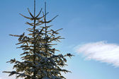Fir-trees and sky — Stock Photo