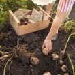 Potatoes in vegetable garden - Stock Photo