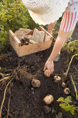 Potatoes in vegetable garden — Stock Photo