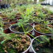 Stock Photo: Hothouse seedlings in small pots