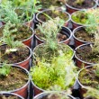 Hothouse seedlings in small pots — Stock Photo