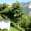 Green vineyard in the mountains — 图库照片
