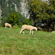 Sheep feeding on pasture - Stock Photo