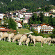 A herd of sheep in a village - Stock Photo