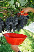 Hands harvesting blue grapes — Stock Photo