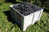 Fresh blue ripe grapes in a box — Stock Photo