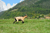 Una cabra en el pasto verde marrón — Foto de Stock