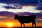 Silhouette einer kuh — Stockfoto
