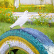 Stock Photo: White pigeon