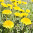 Stock Photo: Dandelions on green meadow