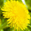 Stock Photo: Yellow dandelion flower Taraxacum