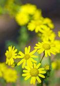 Yellow flowers on green field. — Stock Photo
