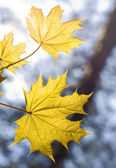 Leaves on maple branches — Stock Photo