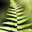 Green Fern Leave — Stock Photo #8095918