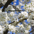 Blossoming spring tree against blue sky — Stock Photo #8095944