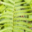 Green Fern Leave — Stock Photo #8095981
