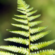 Green Fern Leave — Stock Photo