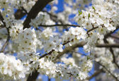 Blossoming spring tree against blue sky — Stock Photo
