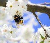 Цветущая весна дерево — Стоковое фото