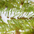 Pine branch covered  snow - Stock Photo
