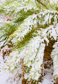 Spruce branches in snow. — Stock Photo