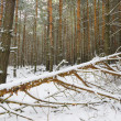 Winter forest — Stock Photo #8557271