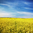 Yellow field rapeseed — Stock Photo