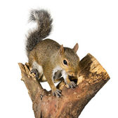 Squirrel on a bough of a tree is sunflower seeds — Stock Photo