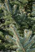 Fir texture — Stock Photo