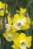 Daffodils in Spring — Stock Photo