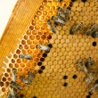 Stock Photo: Worker bees