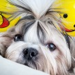 Shih tzu dog — Stock Photo #8610826