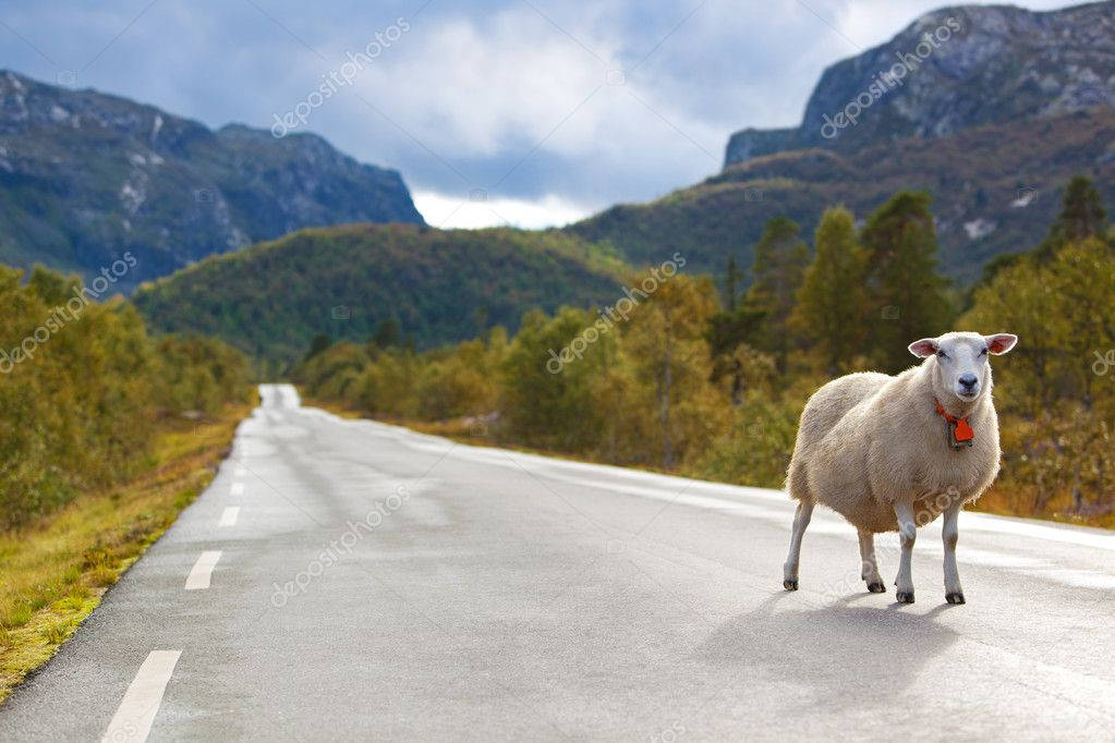 Sheep walking along road. Norway landscape. — Stock Photo #8610669