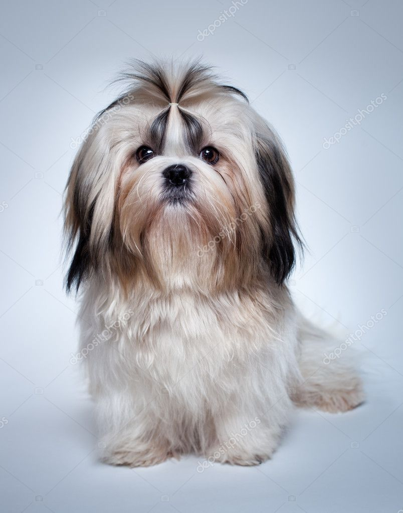 Shiz Shu Dog http://pl.depositphotos.com/8610797/stock-photo-Shih-tzu-dog.html