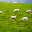 Sheeps on pasture — Stock Photo #9935691