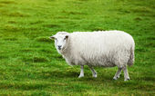 Sheep on pasture — Fotografia Stock