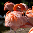A group of pink flamingos — Stock Photo #8339516