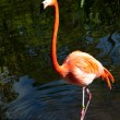 Royalty-Free Stock Photo: Pink flamingo