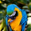 Blue Yellow Macaw Parrot Bird — Stock Photo #8339667