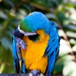 Red Blue Macaw Parrot Bird - Stock Photo
