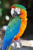 Blue Yellow Macaw Parrot Bird — Stock Photo