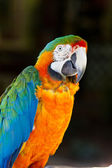 Red Blue Macaw Parrot Bird — Stock Photo