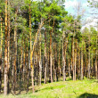 Stock Photo: Sunny glade is in coniferous forest