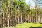 A sunny glade is in the coniferous forest — Stock Photo