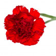 Bud of flower of carnation on a white background — Stock Photo