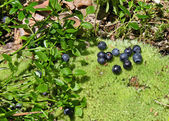 Blueberry — Foto de Stock