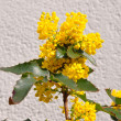 Mahonia (Mahonia aquifolium) - Stock Photo