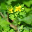 Greater celandine (Chelidonium majus) - Stock Photo